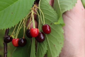 wild sweet cherries