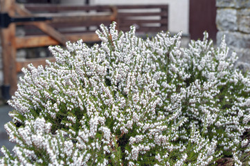 A bunch of Erica carnea, flowering subshrub plant also known as Springwood White, Winter Heath, Snow Heath, and Heather, with abundant small, urn-shaped, silvery white flowers and needle green foliage