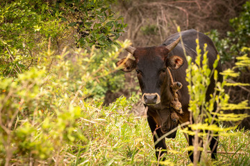 An adult brown cow standing in the field with rope around its neck looking straight at the camera