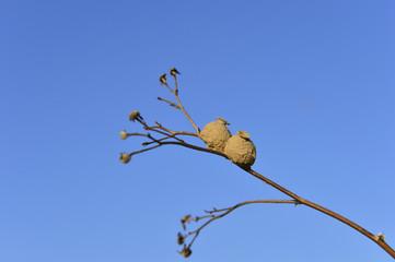 Bee larvae nests