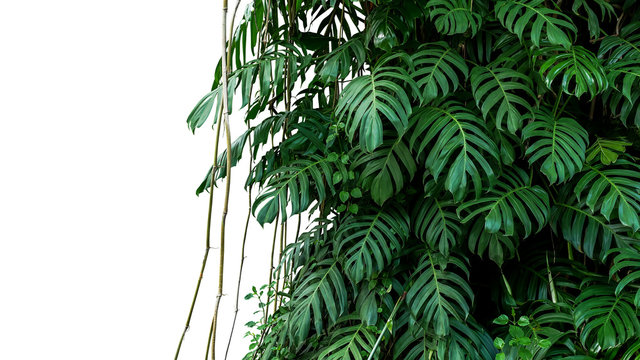 Green leaves of native Monstera (Epipremnum pinnatum) liana plant growing in wild climbing on jungle tree, tropical forest plant evergreen vines bush isolated on white background with clipping path.