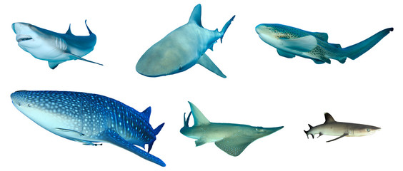 Shark species collection isolated. Caribbean Reef, Bull, Leopard, Whale, Giant Guitarfish and Whitetip Reef Sharks