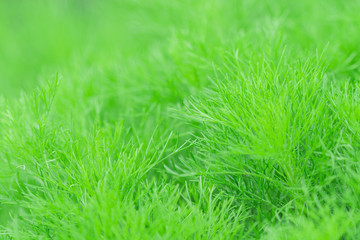 Dill green background