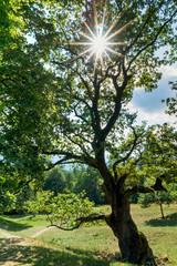 Wall Mural - sun shines through a gorgeous old oak tree on a lush green summer meadow