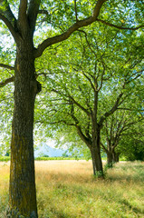 Wall Mural - lovely summertimne oaks in line in a golden meadow with tall grass