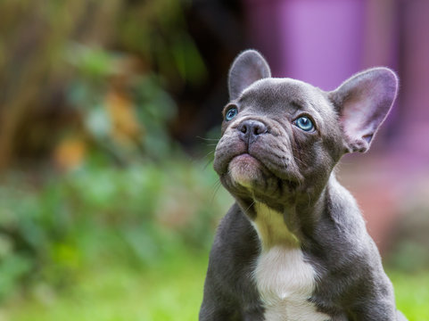 the portrait of a very young french bulldog