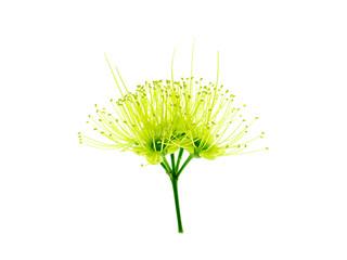 Golden Penda flower