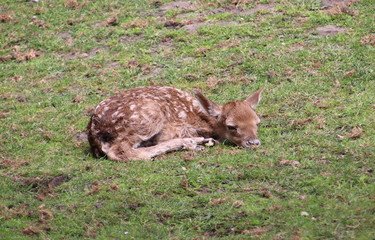 Just born venison in a public animal farm in Nieuwerkerk aan den IJssel.
