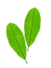 Anacardium occidentale leaves