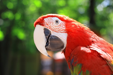 close up. head, macaw parrot on blurred background