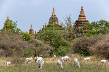 Cows are grazing at historic Buddhist temples in Bagan, Burma. Myanmar temples in the Archaeological Zone, Bagan, Myanmar.