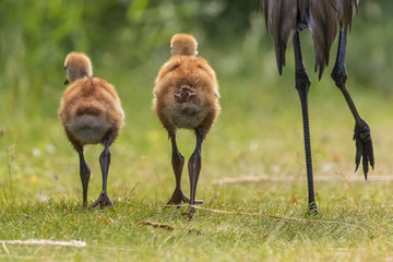 Beautiful Sandhill Cranes New Born Young Cute Babies