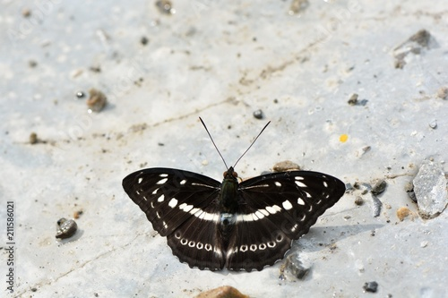 Butterfly from the Taiwan (Dichorragia nesimachus formosanus
