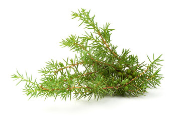 Juniper branch, isolated on white background. Template for text or design. Close-up.