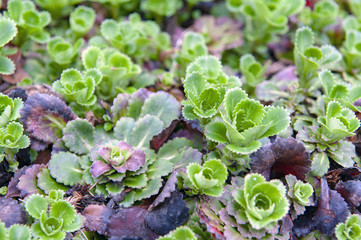 Saxifraga umbrosa or Yrenean saxifrage, a perennial garden flowering plant also known as London Pride