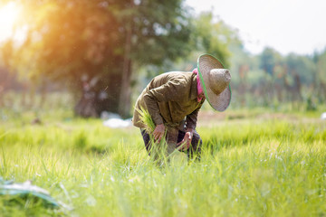 Asia farmers are planting rice in the rice paddy field
