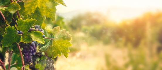 Deurstickers Wijngaard Vineyard in autumn harvest