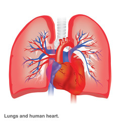 Lungs and human heart illustration infographic anatomy.
