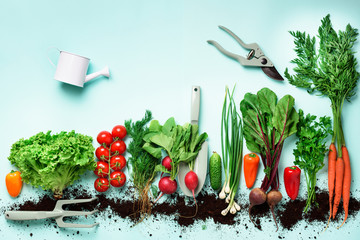 Organic vegetables and garden tools. Top view. Carrot, beet, pepper, radish, dill, parsley, tomato, lettuce on blue background with copy space. Veggies growing in soil. Vegan, eco concept