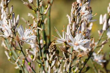 Asphodelus aestivus. Rama con flores de Gamón Común.