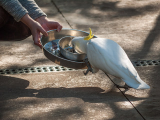 Tourist feeding wild sulphur crested Cockatoo parrots with seed. Grants Picnic Ground, Dandenong Ranges VIC Australia.