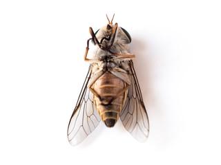 dead flies on white background