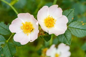 Flores de Escaramujo, Rosal silvestre. Rosa canina.