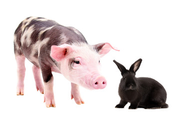 Curious piggy and cute black rabbit, isolated on a white background