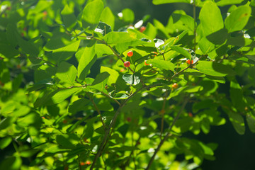 bush with small red berries