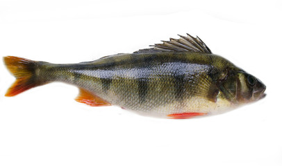 Perch on white background