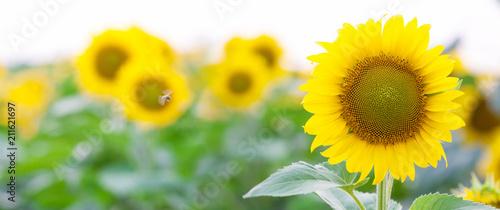 Wall mural Summer Landscape of Golden Sunflower Field