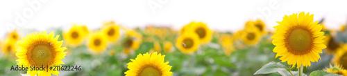 Wall mural Panorama of Summer Landscape - Golden Sunflower Field