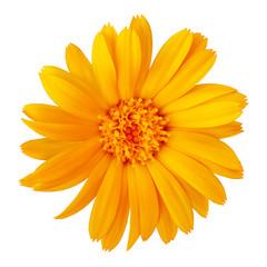 flower orange calendula, isolated on a white  background. Close-up. Element of design.