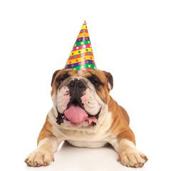 lying english bulldog wearing a colored birthday hat pants