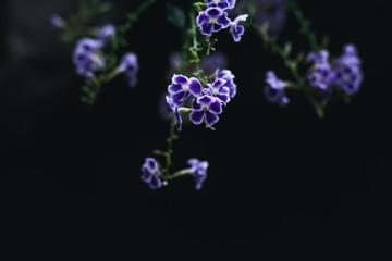 Blue flowers in dark tone Black background