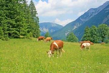 Grasende Kühe auf saftiger Almwiese