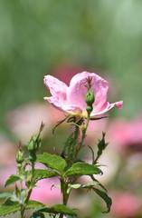 Beautiful light pink rose blooming in a rose garden