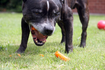 A staffordshire Bull terrier, enjoying a carrot for a snack.