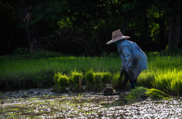 agriculture in rice fields. Thai farmer with a young rice planting in field