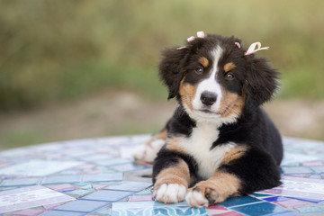 Cute Girl Puppy Dog with Pink Bows