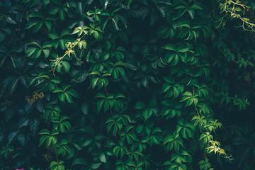 Wild grape green wall. Toned