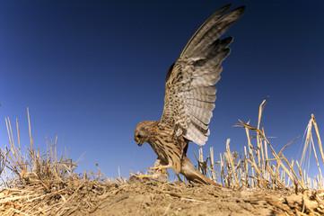 Lesser kestrel, female, hunting a mouse, Falco naumanni