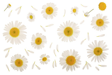 chamomile or daisies isolated on white background. Top view. Flat lay