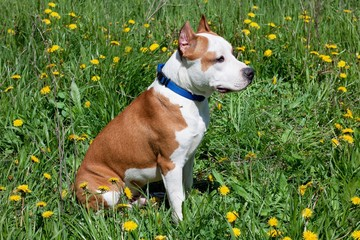 American staffordshire terrier puppy is sitting on a blooming meadow.