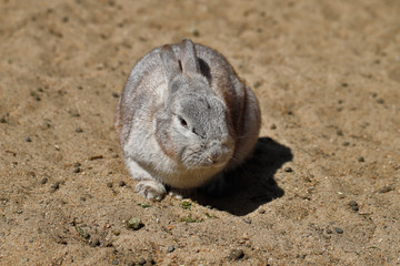 Grey domestic pygmy rabbit (bunny)