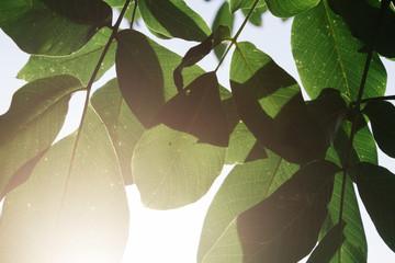 Green walnut leaves