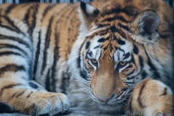 Siberian (Amur) tiger portrait