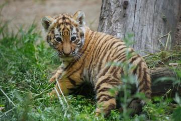 Siberian (Amur) tiger cub playing on the grass