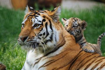 Fotobehang Tijger Siberian (Amur) tiger cub playing with mother