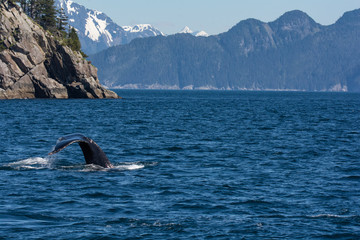Floppy humpback whale tail